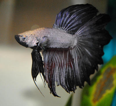 Alucard ii by copperarabian on deviantart for Betta fish natural environment