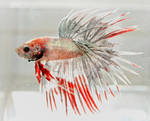 Silver crowntail
