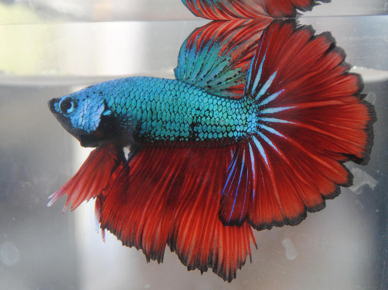Rosetail dragon by copperarabian on deviantart for Dragon scale betta fish