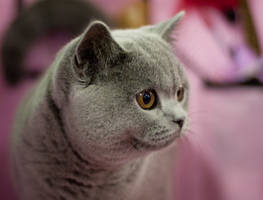 british shorthair by copperarabian