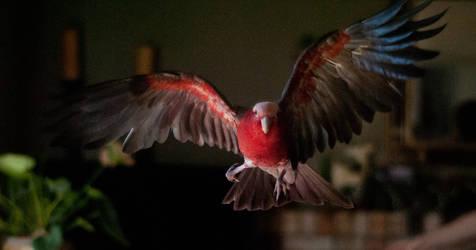Rosie in flight by copperarabian