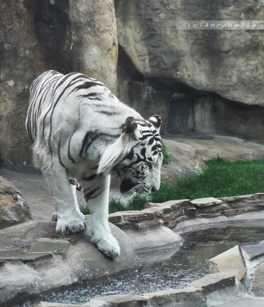 White Tiger I by Amrahelle