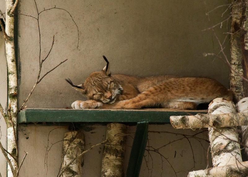 Sleeping lynx by Amrahelle