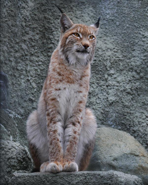 Eurasian Lynx by Amrahelle