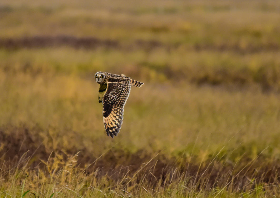 Short eared owl by DegsyJonesPhoto