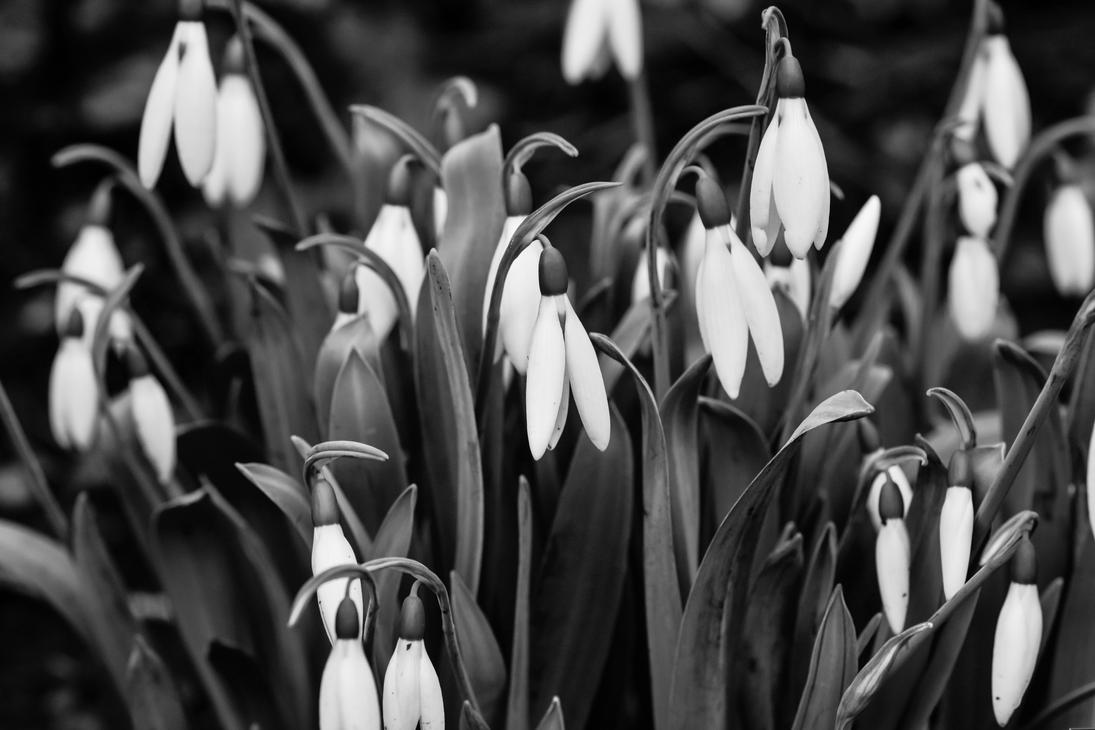 Snow Drops by DegsyJonesPhoto