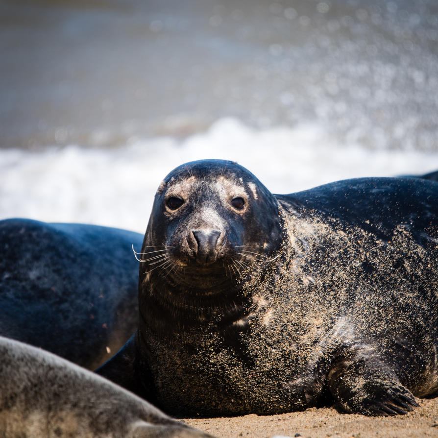 seal by DegsyJonesPhoto