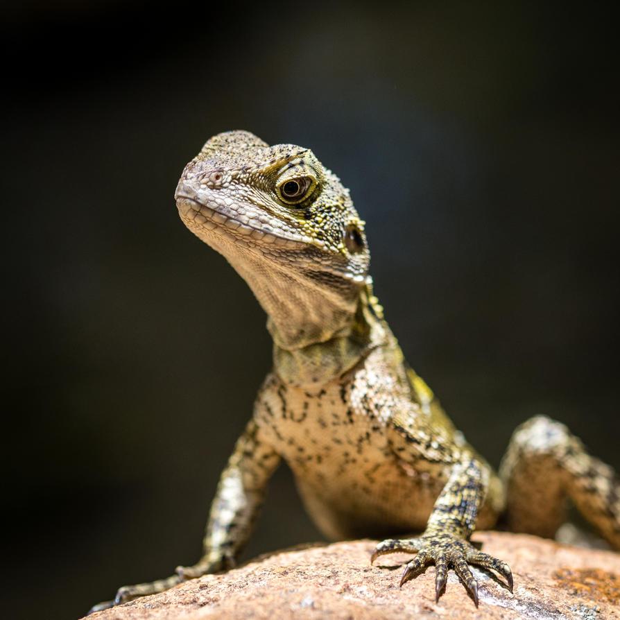 iguana by DegsyJonesPhoto
