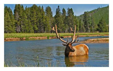 River Forge- Bull Elk by tourofnature