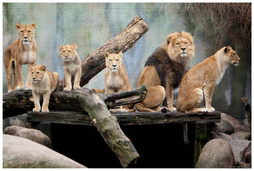 Lion Family 3 by Q-dk