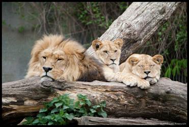 Lion 64 by Q-dk