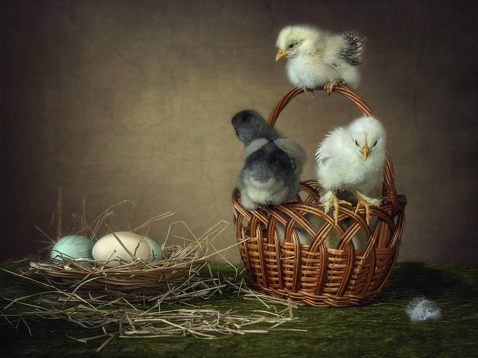 Chicken stories by Daykiney