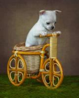 Little white chihuhua by Daykiney