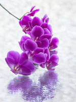 Purple orchid branch by Daykiney