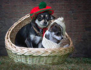 Mom and son of a Chihuahua by Daykiney