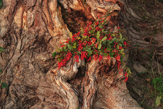 Bouquet of barberry at the roots of an old oak