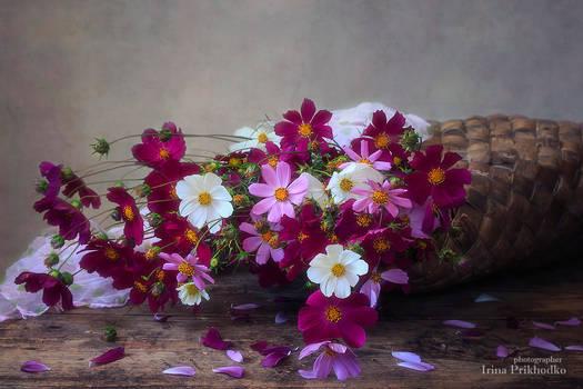Falling bouquet of cosmea