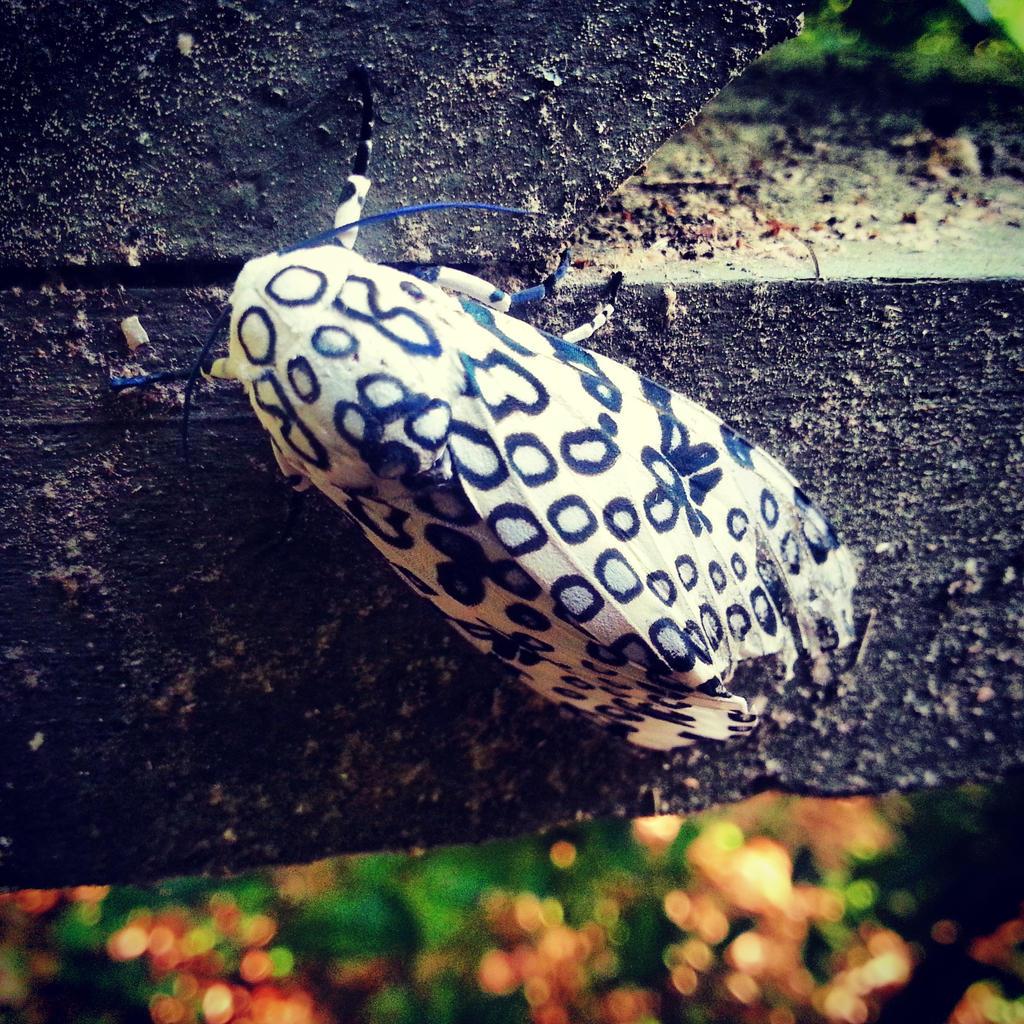 Giant Leopard Moth by Cozytailmom