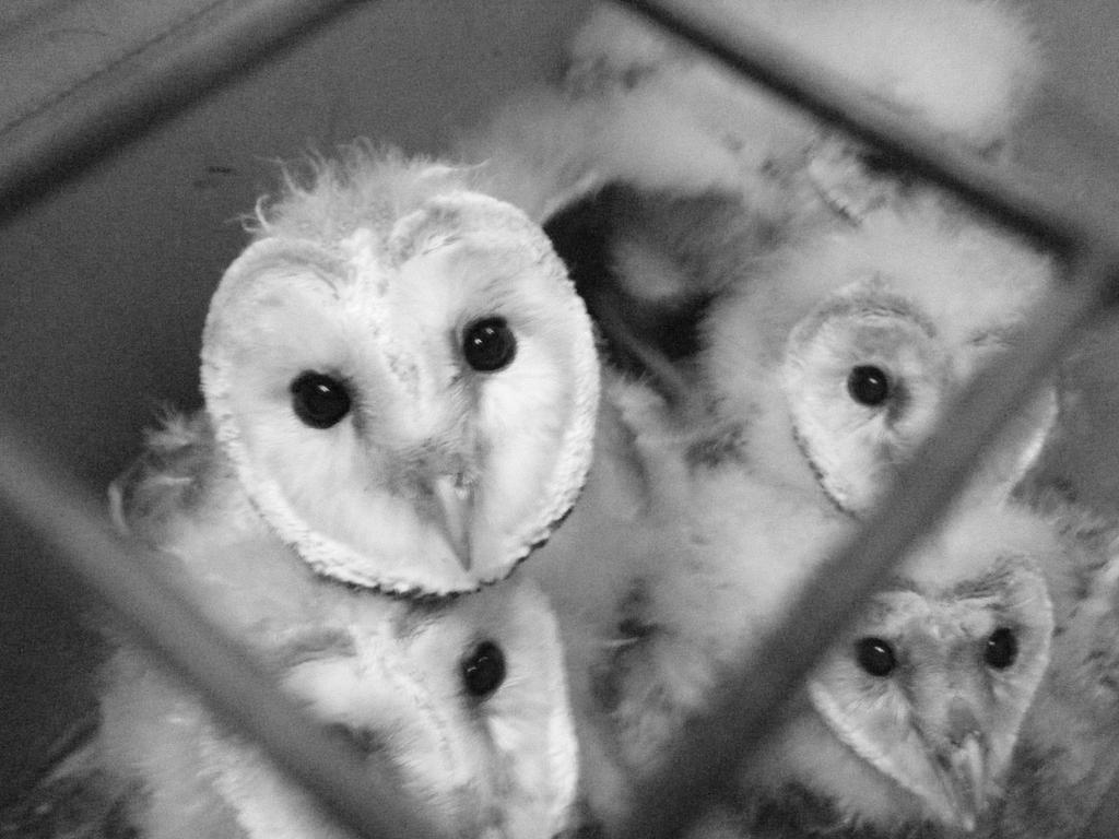 Baby Barn Owls in BW by Kayllik