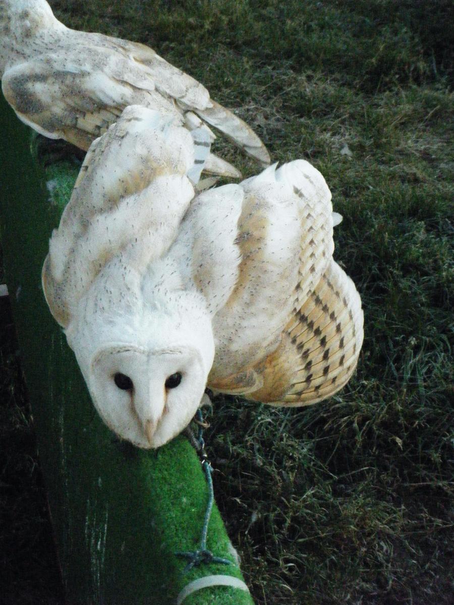 Barn Owl 2 By Kayllik On Deviantart