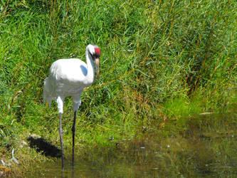 Woopping crane at calgary zoo by Kayllik
