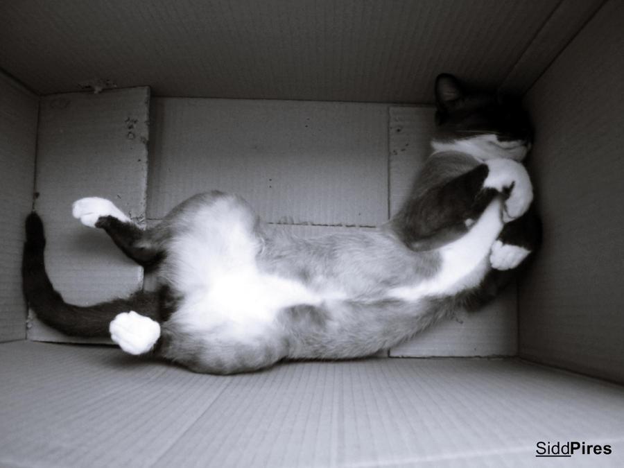 Gato by siddpires