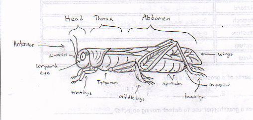 Dorable Grasshopper External Anatomy Illustration - Anatomy And ...