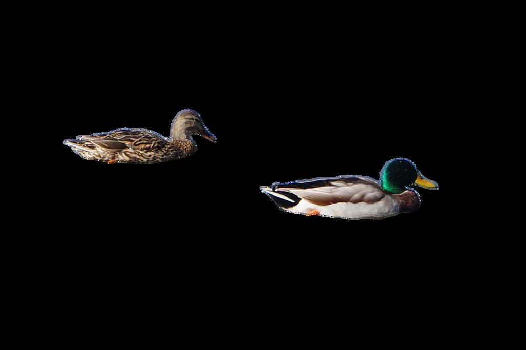 ducks png