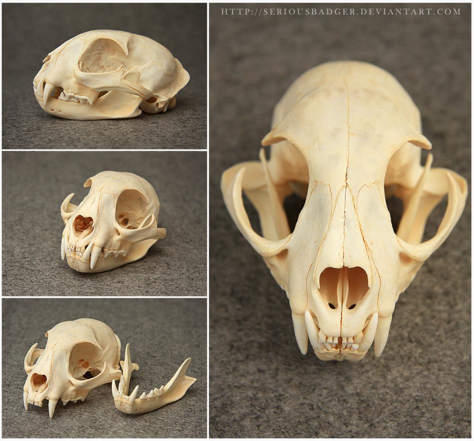Bobcat Skull By Seriousbadger On DeviantArt