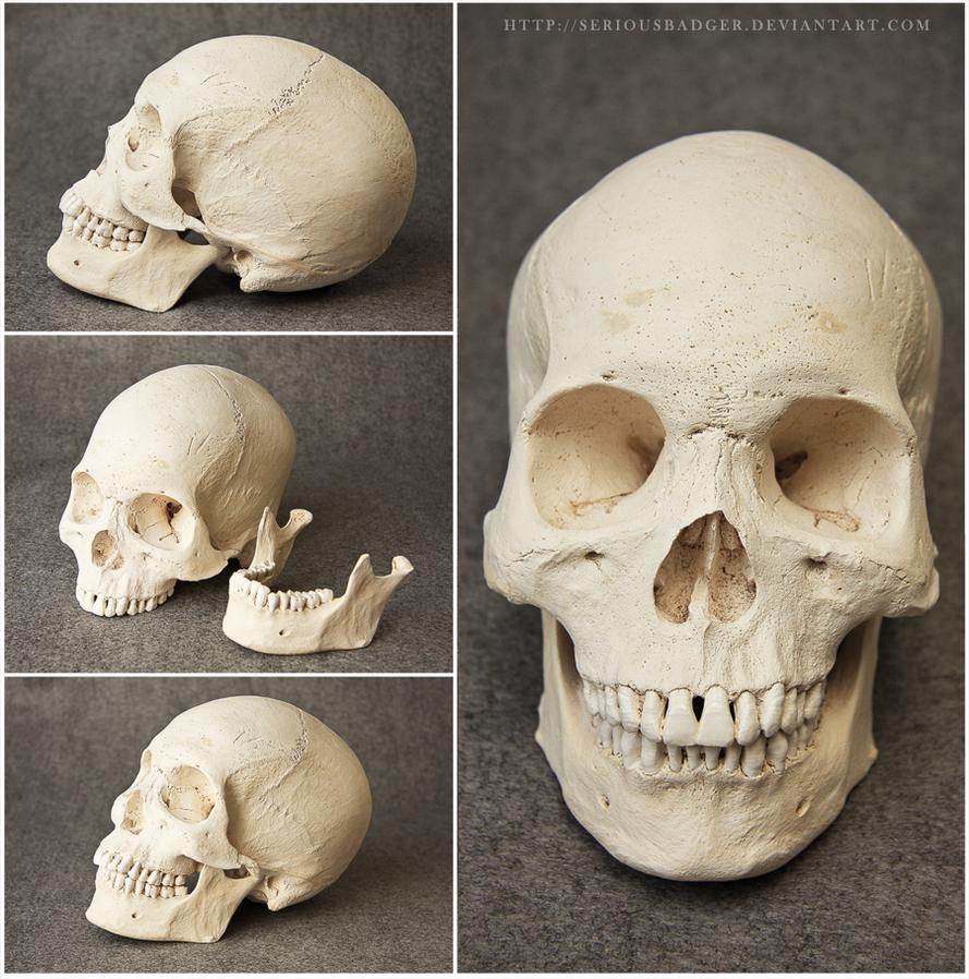 Human skull by seriousbadger on DeviantArt