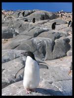 penguin three by italo