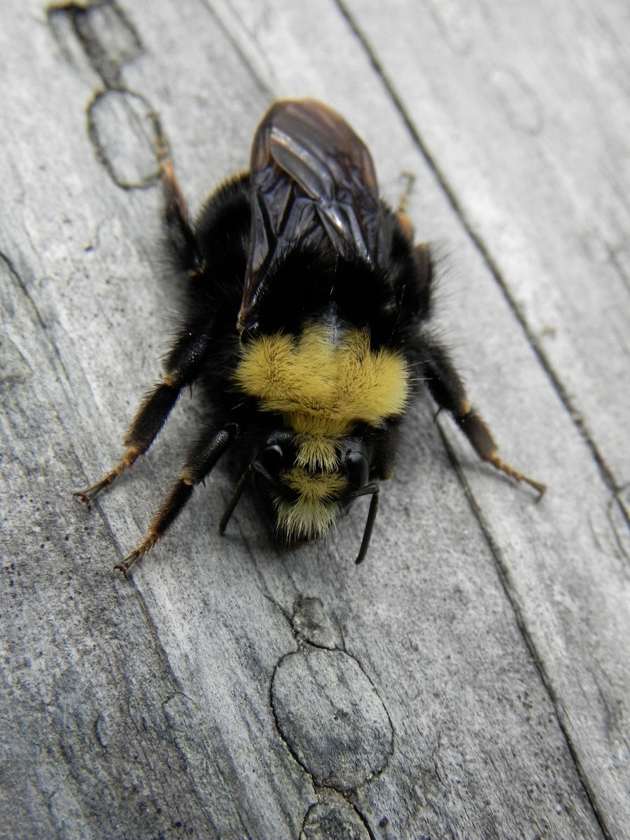 Yellow And Black Fuzzy Bumble Bee By Samela7
