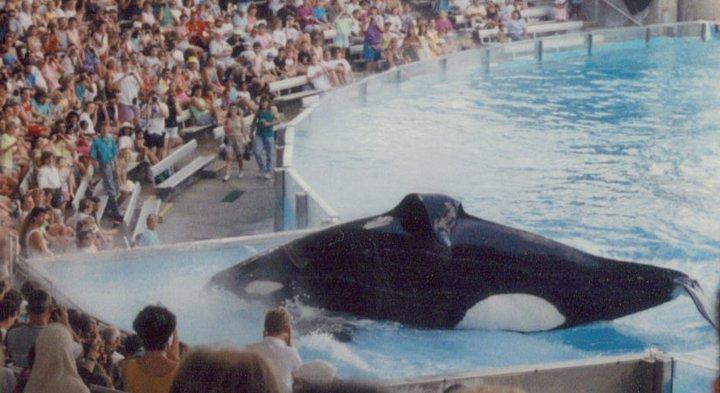 Kanduke The Killer Whale 1990 by philliesorca