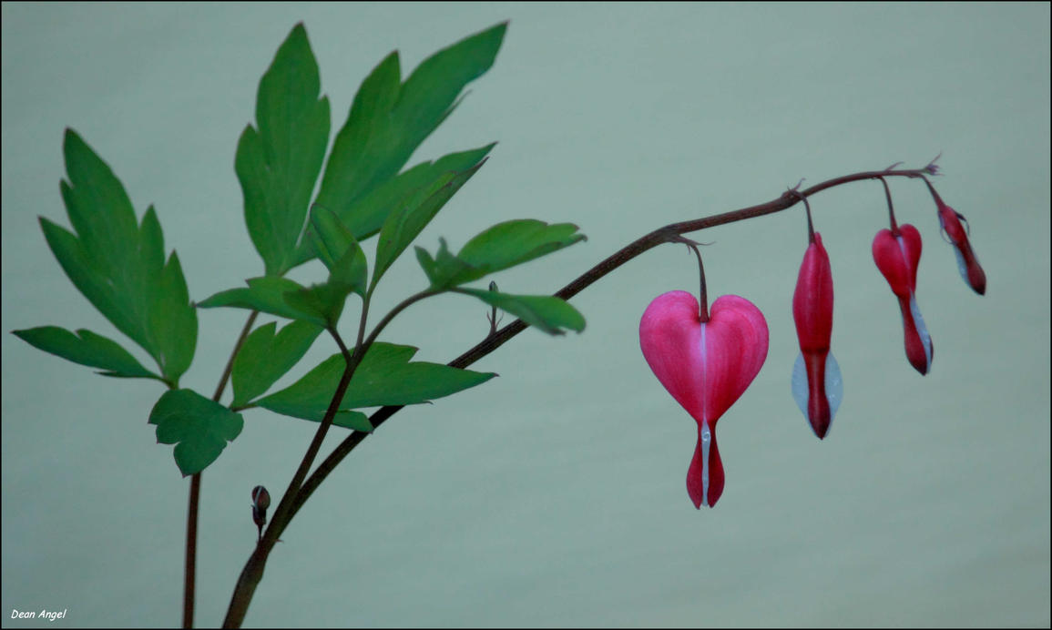 Bleeding Hearts by wallawallabigguy