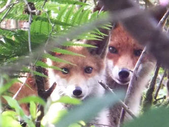 The Young Foxes by kernowcaptures