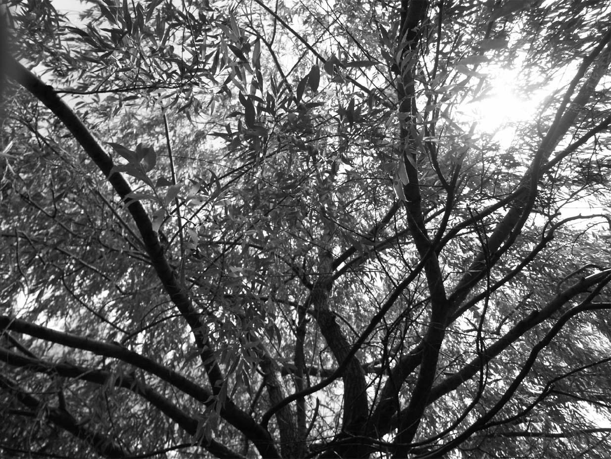 ... A Black And White Willow ...