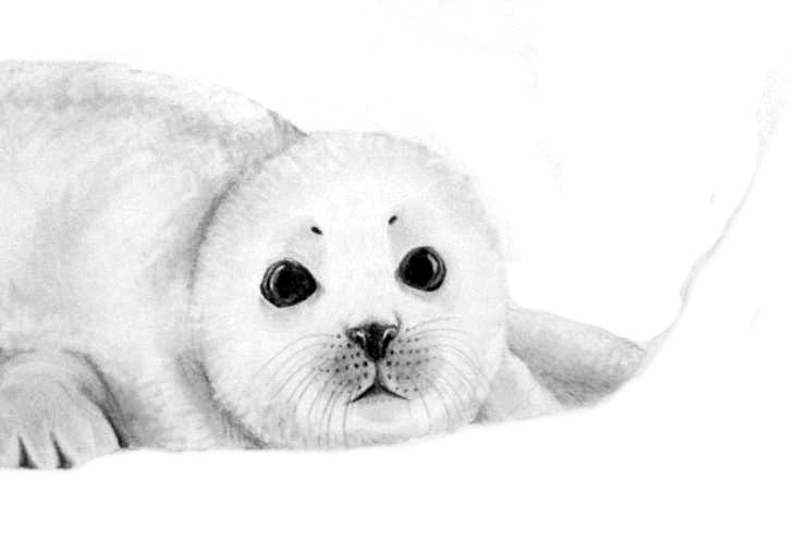 Baby Seal by iAlly on DeviantArt Baby Arctic Seal Drawing