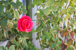 Red Rose 10