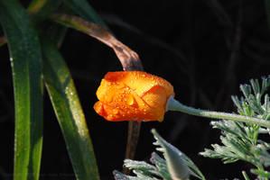 California Poppy Dew by Sageous