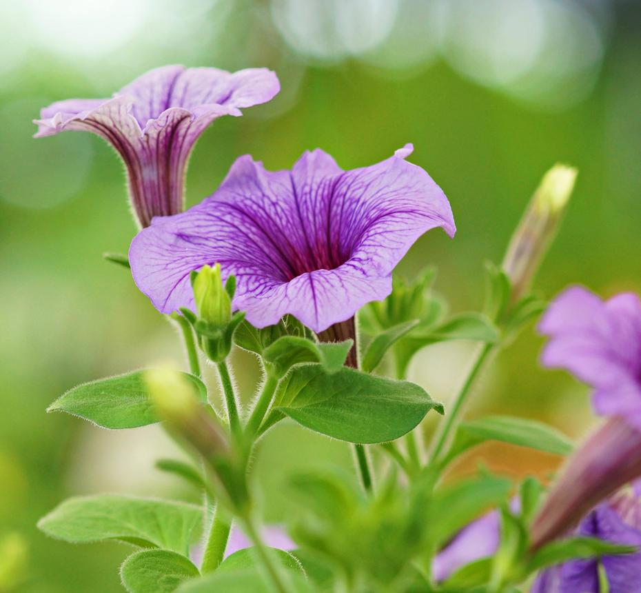 Morning Glory Flower 1 By A6-k On DeviantArt