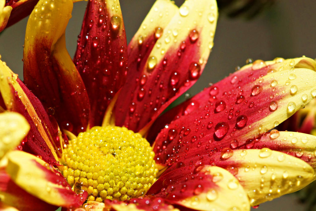 Red and yellow flower close up by a6 k on deviantart red and yellow flower close up by a6 k mightylinksfo Images