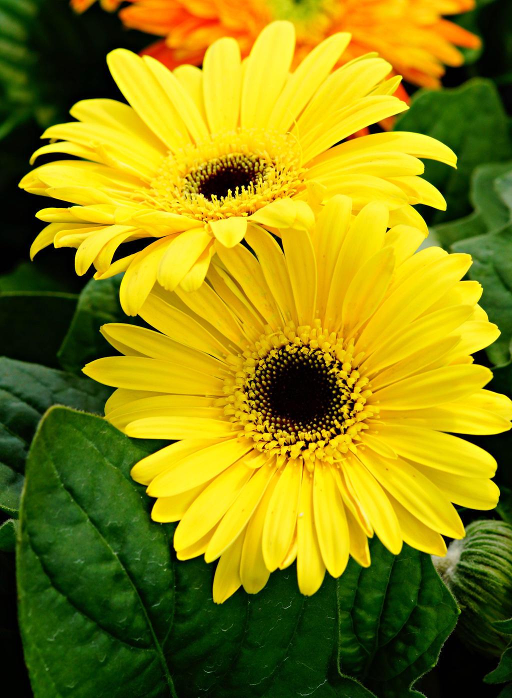 Yellow gerbera daisy by a6-k on deviantART