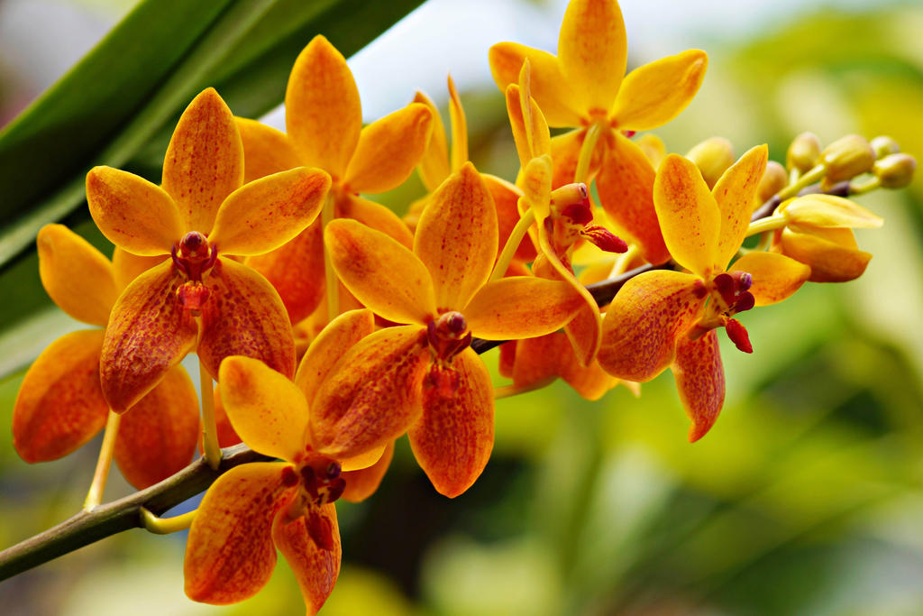 orange orchid flowers with yellow eyes photo.jpg (4 ... |Orange Orchid Flower