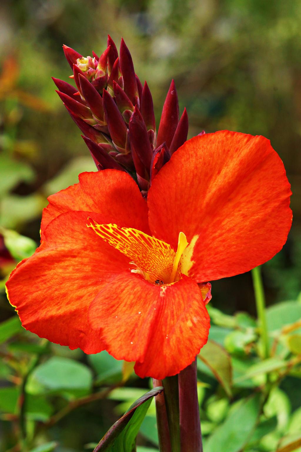 Canna lily flower 3 by a6 k on DeviantArt