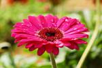 Gerbera daisy with waterdrop 1