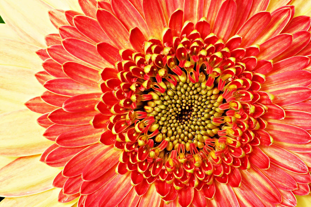 Closeup of Gerbera daisy by a6-k