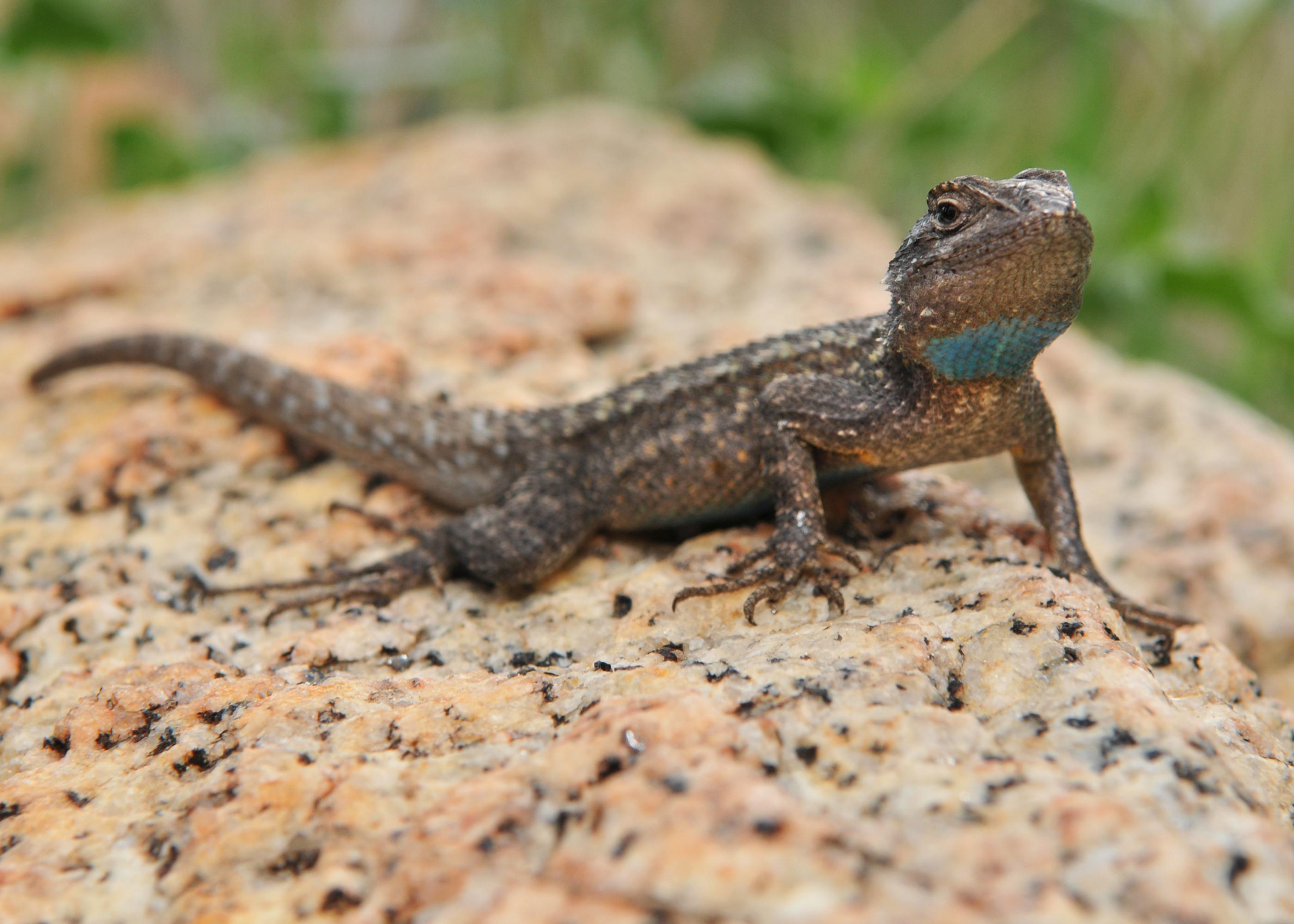 Western Fence Lizard by jamezevanz on DeviantArt