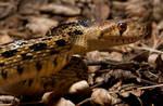 San Diego Gopher Snake I
