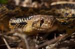 San Diego Gopher Snake II