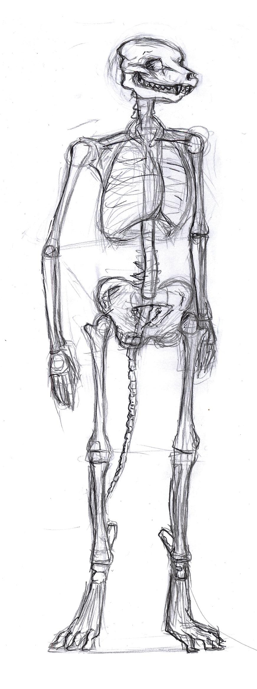 Anthro skeleton anatomy by danwolf15 on DeviantArt